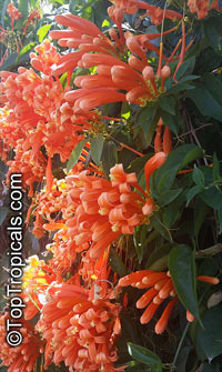 Pyrostegia venusta - Flame Vine  Click to see full-size image