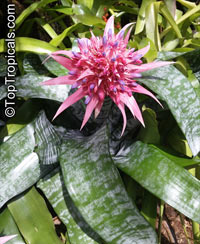 Aechmea sp., Bromeliad  Click to see full-size image