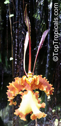 Psychopsis papilio, Butterfly Orchid  Click to see full-size image