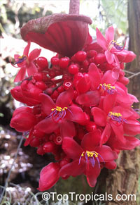Medinilla miniata, Crimson Medinilla  Click to see full-size image