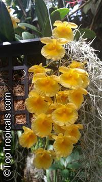 Dendrobium lindleyi, Dendrobium aggregatum, Dendrobium  Click to see full-size image
