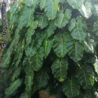 Philodendron sp., PhilodendronClick to see full-size image
