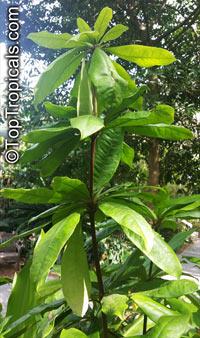 Deherainia smaragdina, Emerald FlowerClick to see full-size image