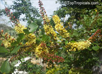 Haematoxylum campechianum, Bloodwood Tree, Campeche, Logwood  Click to see full-size image