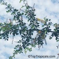 Haematoxylum campechianum, Bloodwood Tree, Campeche, LogwoodClick to see full-size image