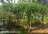 Jasminum azoricum, Jasminum trifoliatum Moench, Jasminum bahiense, Jasminum blandum, Jasminum fluminense, Jasminum hildebrandtii, Jasminum holstii, River Jasmine, Scrambling Vine, Jasmine De Trapo  Click to see full-size image