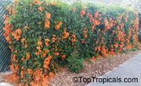 Pyrostegia venusta, Pyrostegia ignea, Bignonia venusta, Flame vine, golden shower, orange trumpet vine, Hua Pala Vine  Click to see full-size image