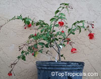 Hibiscus grandidieri, Red Chinese Lantern  Click to see full-size image