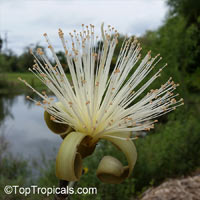 Pseudobombax ellipticum, Bombax ellipticum, Shaving Brush Tree  Click to see full-size image