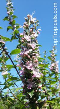 Clerodendrum mastacanthum, Rotheca mastacantha, Rotheca mastacanthus, Rotheca macrodonta, Pink Butterfly Bush  Click to see full-size image