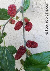 Morus hybrid, Mulberry  Click to see full-size image