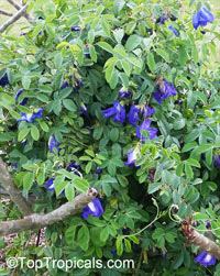 Clitoria ternatea, Butterfly Pea, Asian Pigeonwings
