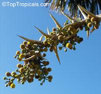 Vachellia sphaerocephala, Acacia sphaerocephala, Bulls-Horn Acacia, Bee Wattle  Click to see full-size image