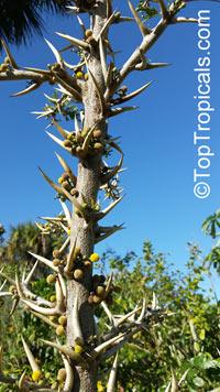 Vachellia sphaerocephala, Acacia sphaerocephala, Bulls-Horn Acacia, Bee WattleClick to see full-size image