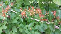 Combretum microphyllum, Combretum paniculatum subsp. microphyllum, Flame Creeper, Burning Bush  Click to see full-size image