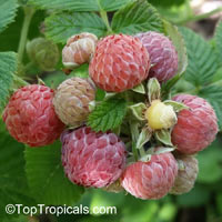 Rubus niveus, Rubus albescens, Mysore Raspberry, Ceylon Raspberry,Hill RaspberryClick to see full-size image