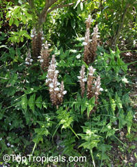 Acanthus sp., Acanthus, Bear's Breeches