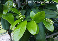 Coccoloba diversifolia, Pigeonplum, Doveplum, Pigeon Seagrape, Tietongue  Click to see full-size image