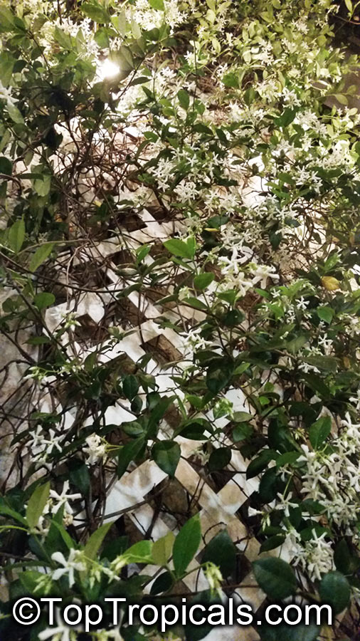 trachelospermum jasminoides confederate jasmine star jasmine. Black Bedroom Furniture Sets. Home Design Ideas