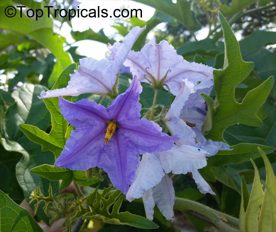 Solanum macranthum Plant Seeds Now or Save Seeds for Years Brazilian Giant Star Potato Tree Seeds 10+ Rare Tree Seeds in FROZEN SEED CAPSULES for the Gardener /& Rare Seeds Collector