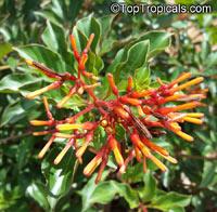 Hamelia patens, Fire Bush, Firecracker PlantClick to see full-size image