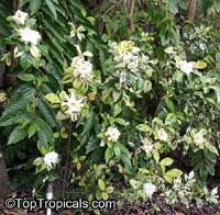 Gardenia sp. variegata, Variegated gardeniaClick to see full-size image