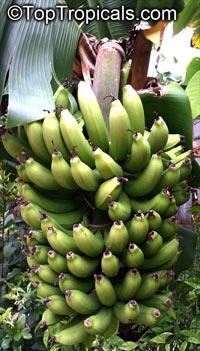 Musa - Banana Dwarf Green Click to see full-size image