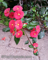 Euphorbia milii, Crown of thornsClick to see full-size image