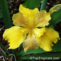 Iris sp. ( Beardless irises), Beardless Irises, Water Irises