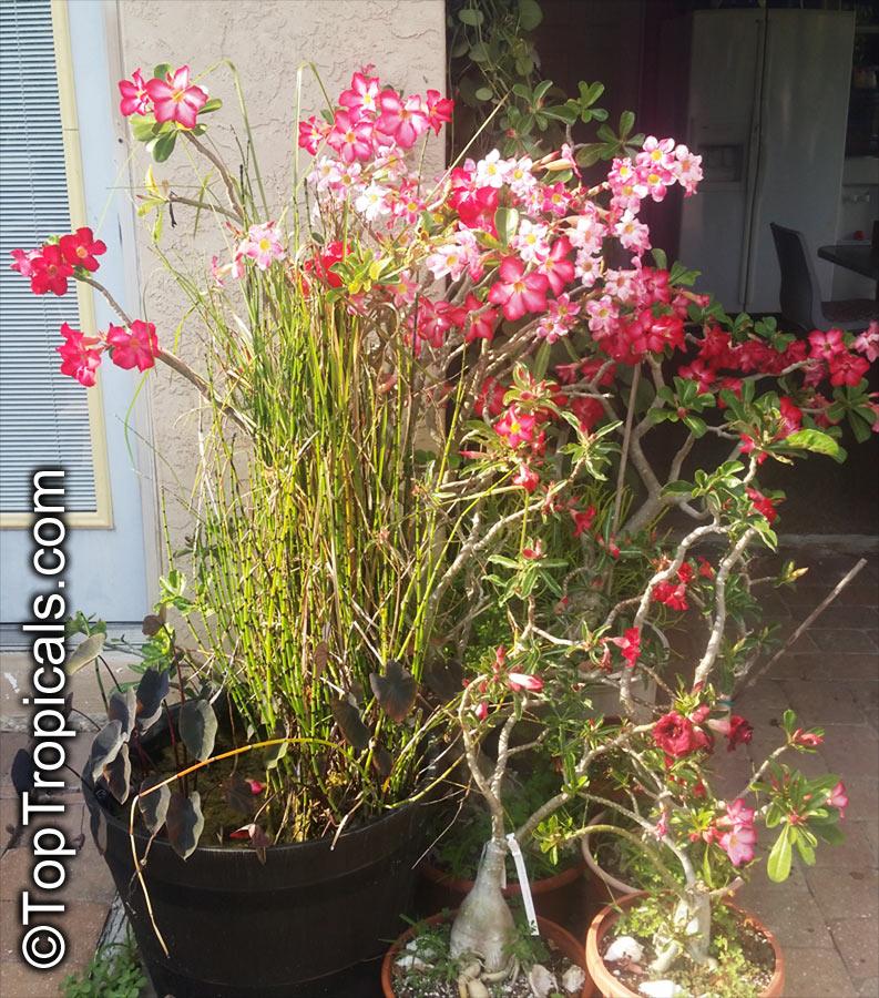 Garden Bush: Adenium Sp., Adenium, Desert Rose, Impala Lily