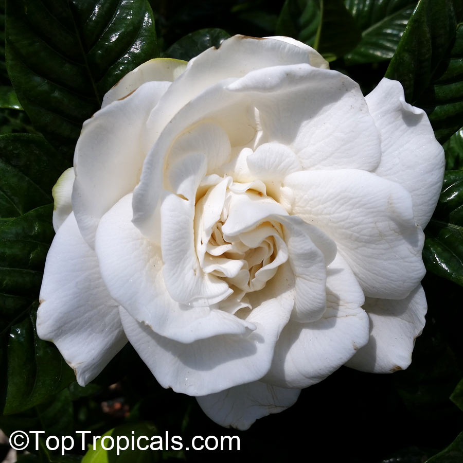 Gardenia Augusta Gardenia Jasminoides Bush Gardenia
