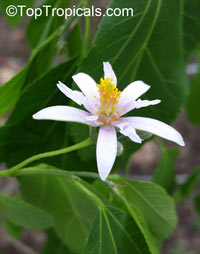 Grewia lasiocarpa , Elepants Ear Grewia, Forest Raisin, Shaggy Raisin  Click to see full-size image