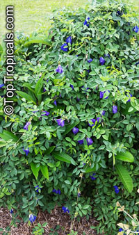 Clitoria ternatea, Butterfly Pea, Asian PigeonwingsClick to see full-size image