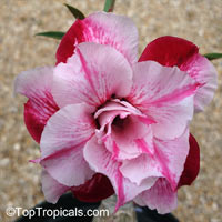 Adenium Sab Somboon, Grafted