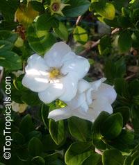 Gardenia x duruma, White Gem, Buttons Gardenia  Click to see full-size image