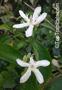 Wrightia tomentosa, Queen Wrightia