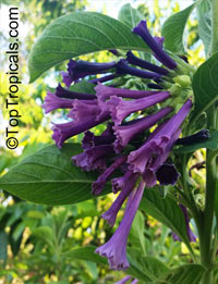Iochroma warscewiczii, Purple bells  Click to see full-size image