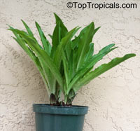 Eucomis sp., Pineapple Lily, Aloha Lily