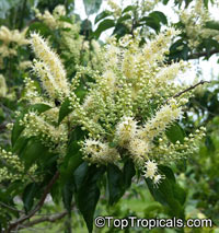 Combretum padoides, Thicket Bushwillow  Click to see full-size image