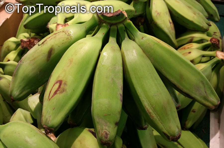 saba banana musa balbisiana peels as The abundance of anthocyanins reported in the banana inflorescence bracts (musa acuminata and, musa acuminata x balbisiana), ranging from 14–32 mg anthocyanin/100 g bracts, mainly comprising of cyanidin-3-rutinoside compound, could potentially be exploited as a cheap source of natural food colorant.