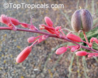 Hesperaloe parviflora, Red Yucca  Click to see full-size image