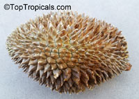 Durio sp., Durian, Durian Kuning, Durian Merah
