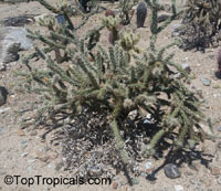 Cylindropuntia sp., Cylindropuntia, Cholla  Click to see full-size image
