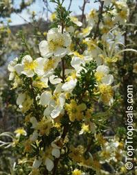 Purshia stansburyana, Cowania stansburiana, Cowania mexicana, Stansbury's Cliffrose  Click to see full-size image