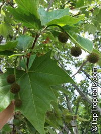 Platanus sp., Plane tree  Click to see full-size image