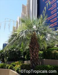 Brahea armata, Erythea armata, Erythea glauca, Erythea roezlii, Blu Fan Palm, Blue Hesper PalmClick to see full-size image