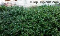 Trachelospermum jasminoides, Confederate Jasmine, Star Jasmine  Click to see full-size image