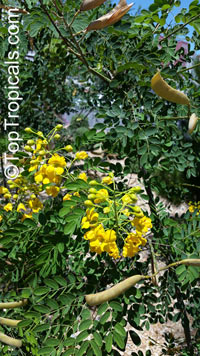 Caesalpinia mexicana, Mexican Bird of Paradise, Dwarf Poinciana  Click to see full-size image