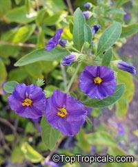 Solanum rantonnetii, Lycianthes rantonnetii , Blue Solanum Shrub, Paraguay Nightshade  Click to see full-size image