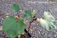 Abelmoschus esculentus, Hibiscus esculentus, Okra, Bamia, GomboClick to see full-size image